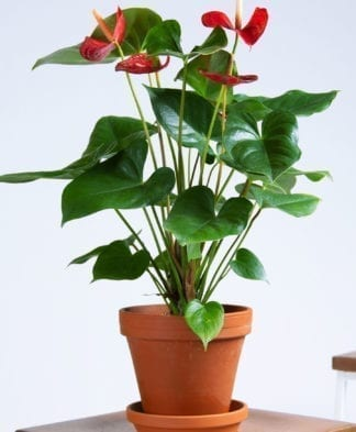 Buy Potted Red Anthurium Indoor Plant, Bloomscape