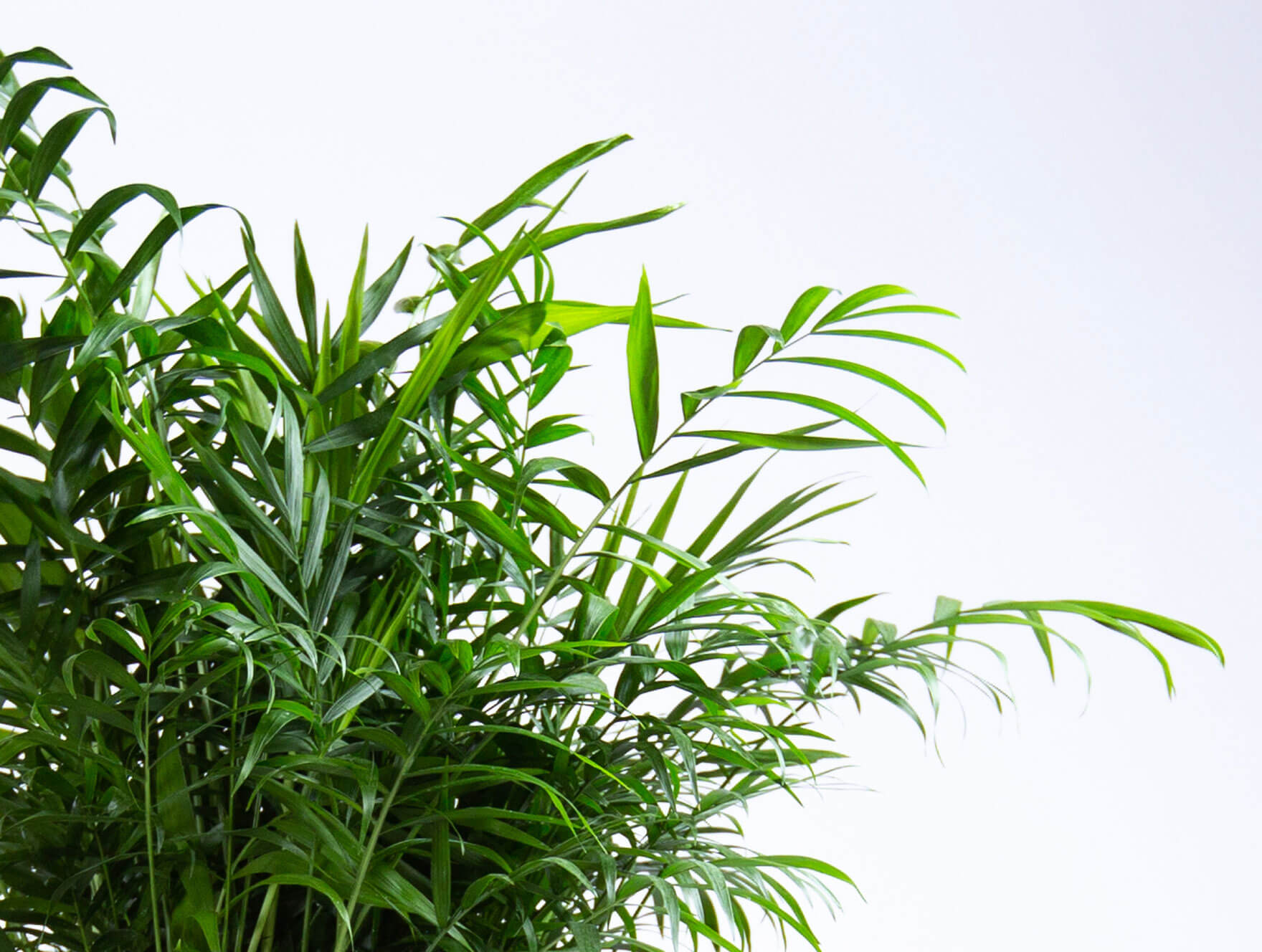 Plant Mom's Tips: Parlor Palm Care
