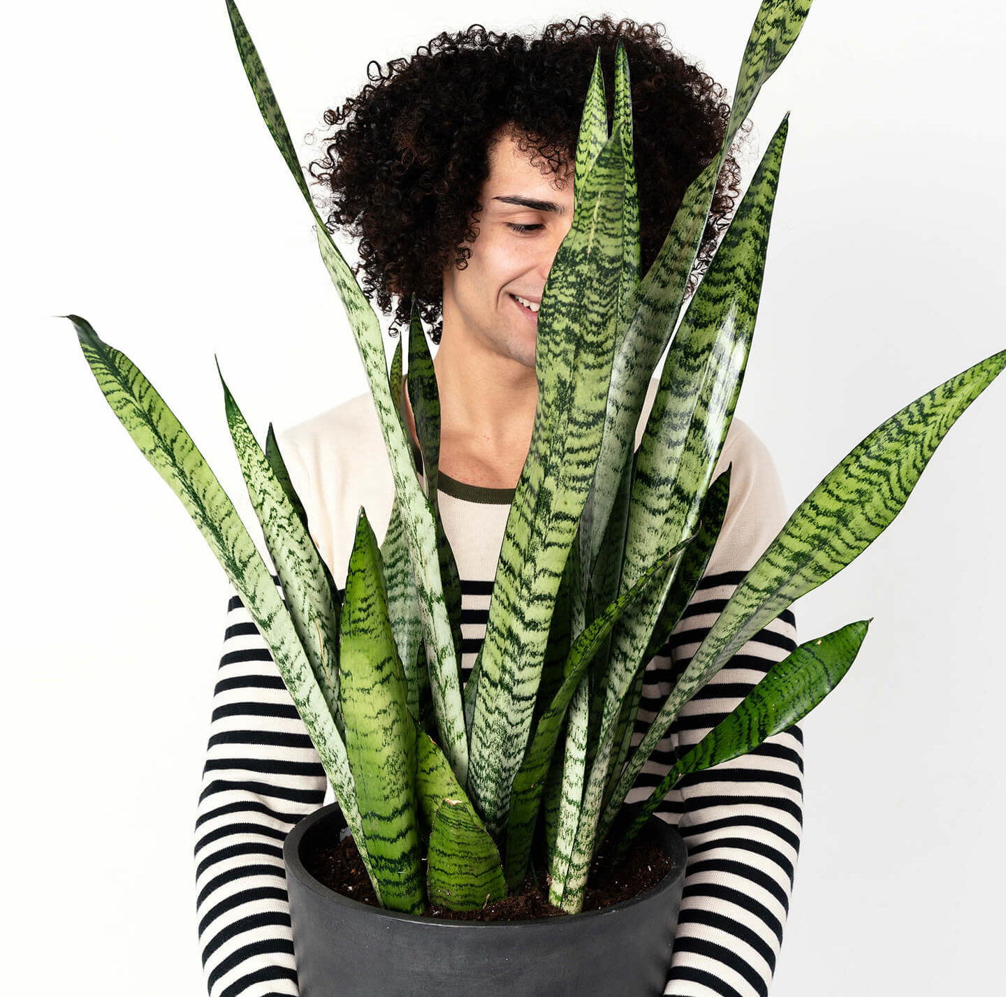 Buy Potted Bloomscape Sansevieria