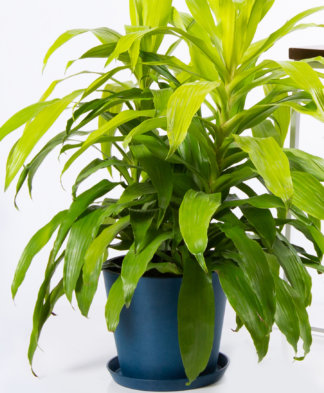Buy Potted Bloomscape Dracaena Limelight