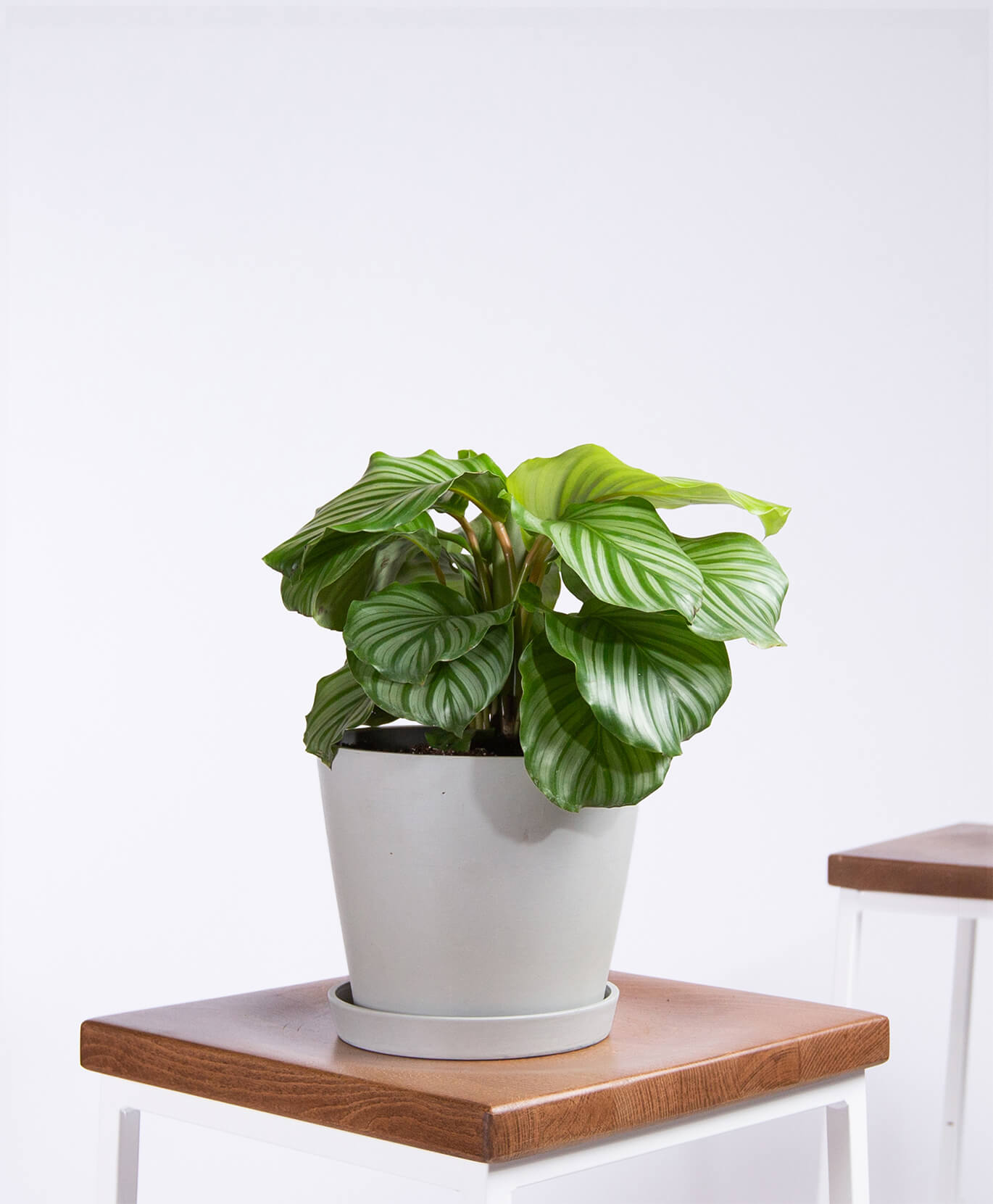 Buy Potted Bloomscape Calathea Orbifolia Indoor Plant