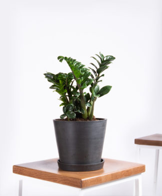Buy Potted Bloomscape Zenzi Plant
