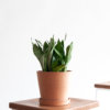 Buy potted Bloomscape Moonshine Sansevieria