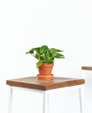 Buy Bloomscape Potted Pothos Collection
