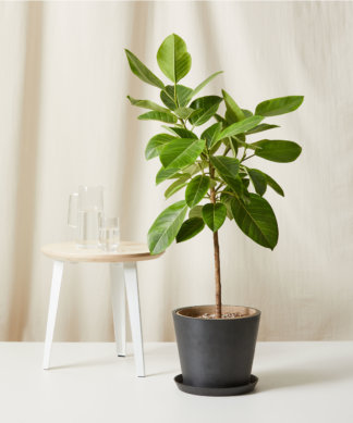 Buy Bloomscape Potted Ficus Altissima