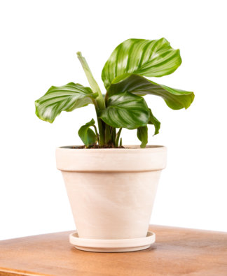 Buy Potted Bloomscape Calathea Collection Indoor Plants