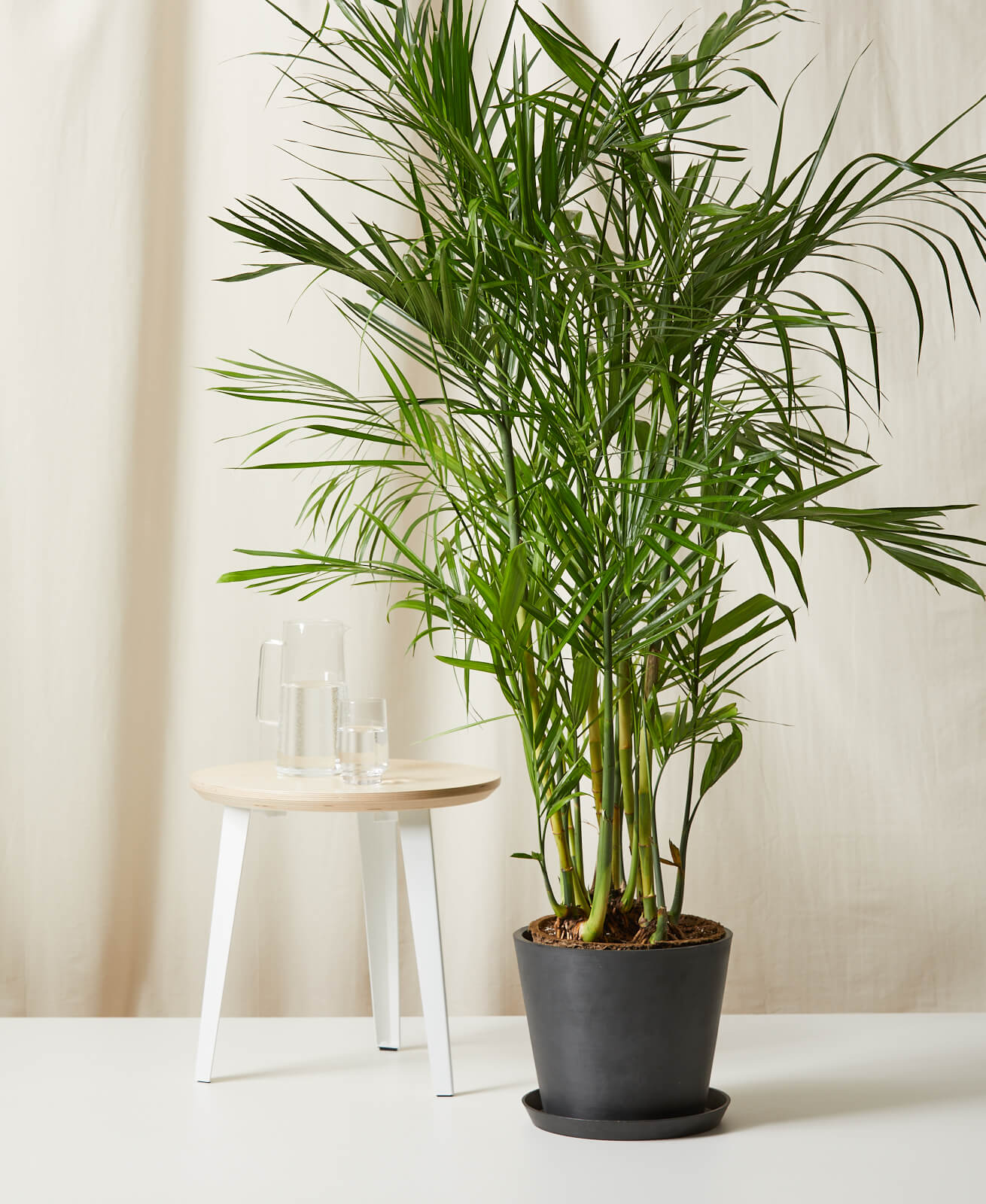 Buy Bloomscape Potted Bamboo Palm
