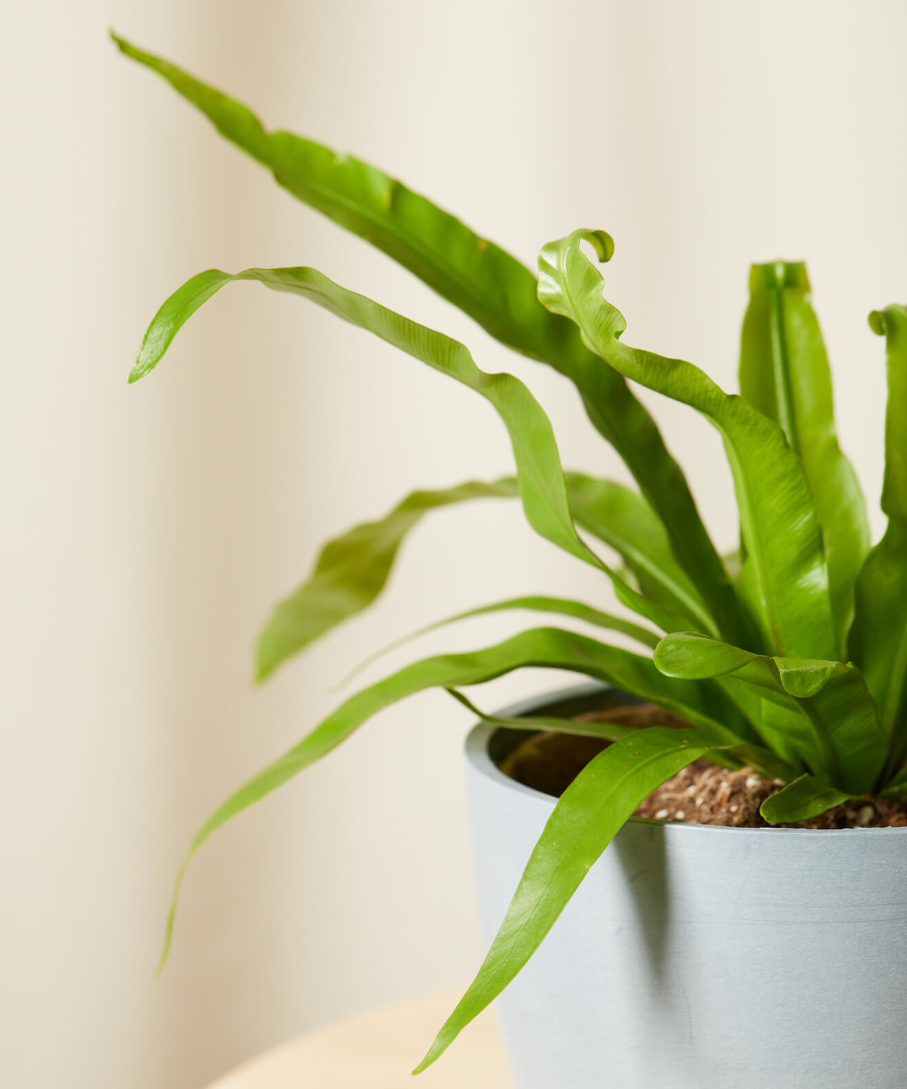 Buy Bloomscape Potted Bird's Nest Fern