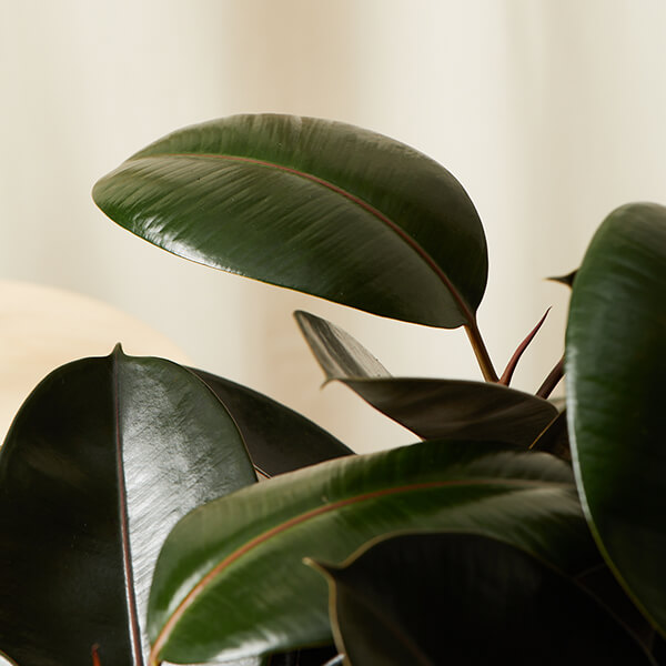 Burgundy Rubber Tree Care