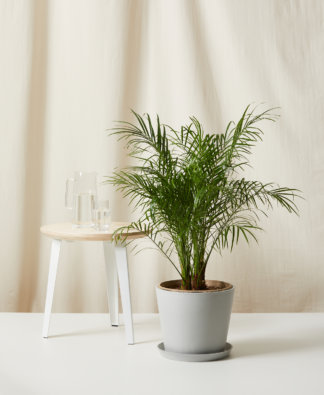 Buy Bloomscape Potted Date Palm