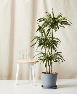 Buy Bloomscape Potted Dracaena Warneckii