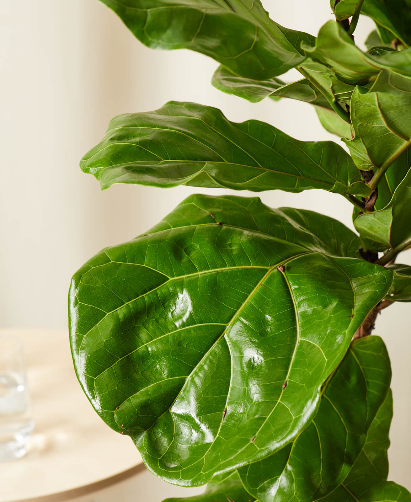 Buy Bloomscape Potted Fiddle Leaf Fig