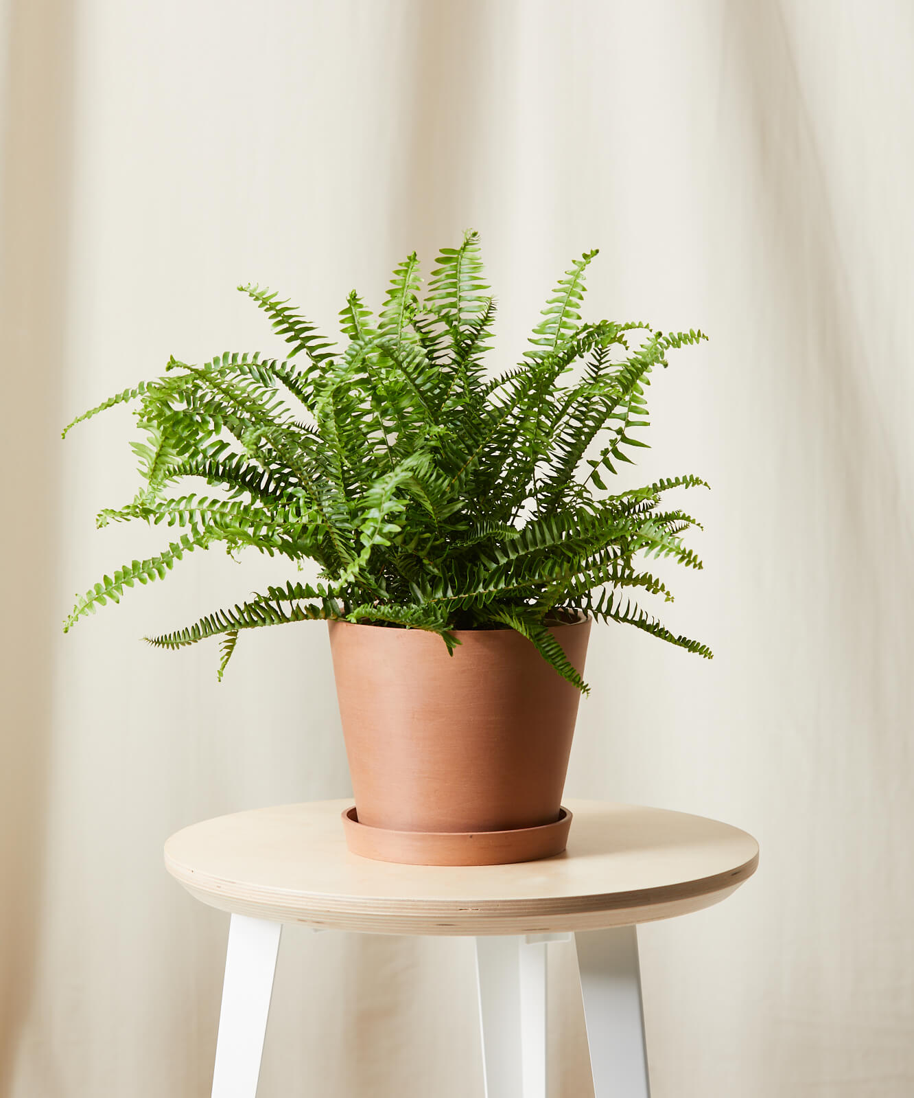 bloomscape kimberly queen fern clay