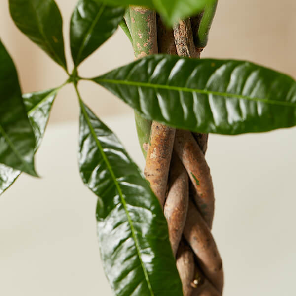 Money Tree Plant Care Guide Bloomscape
