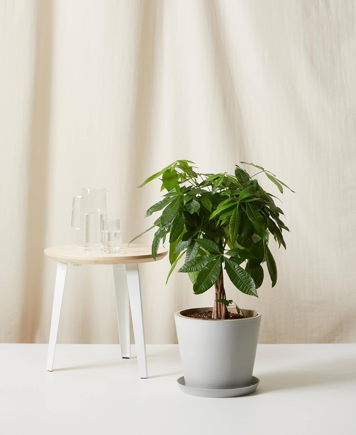 Buy Bloomscape Potted Money Tree
