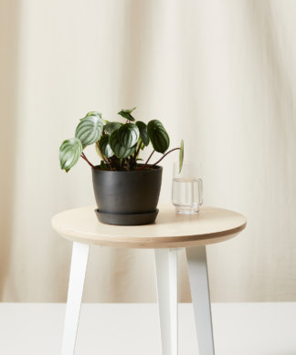 Buy Bloomscape Potted Peperomia Watermelon