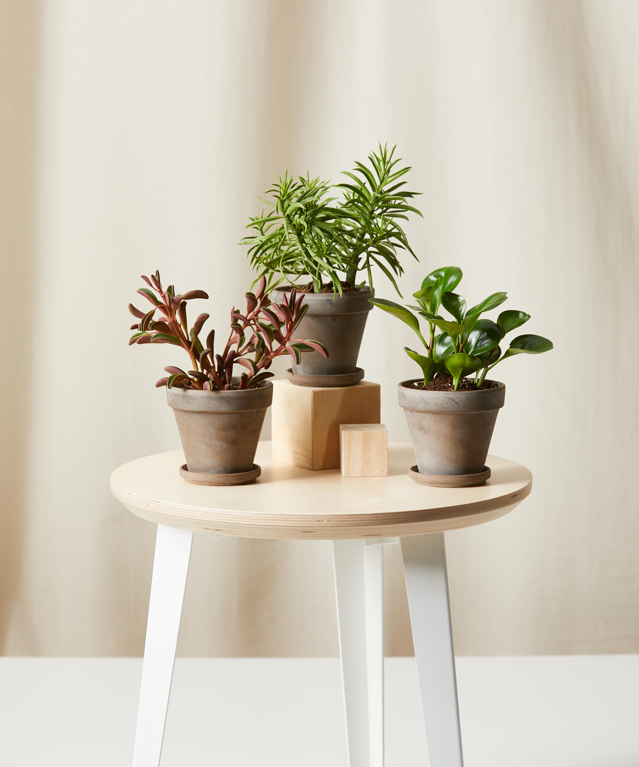 Buy Bloomscape Potted Pet-Peromia Collection