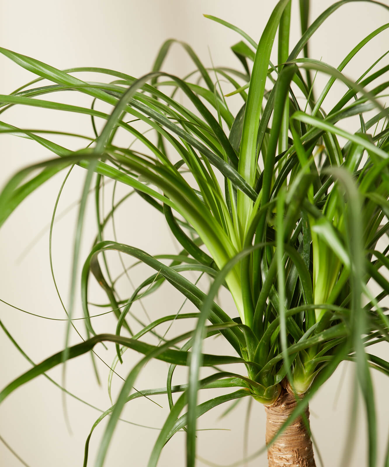 Buy Bloomscape Potted Ponytail Palm