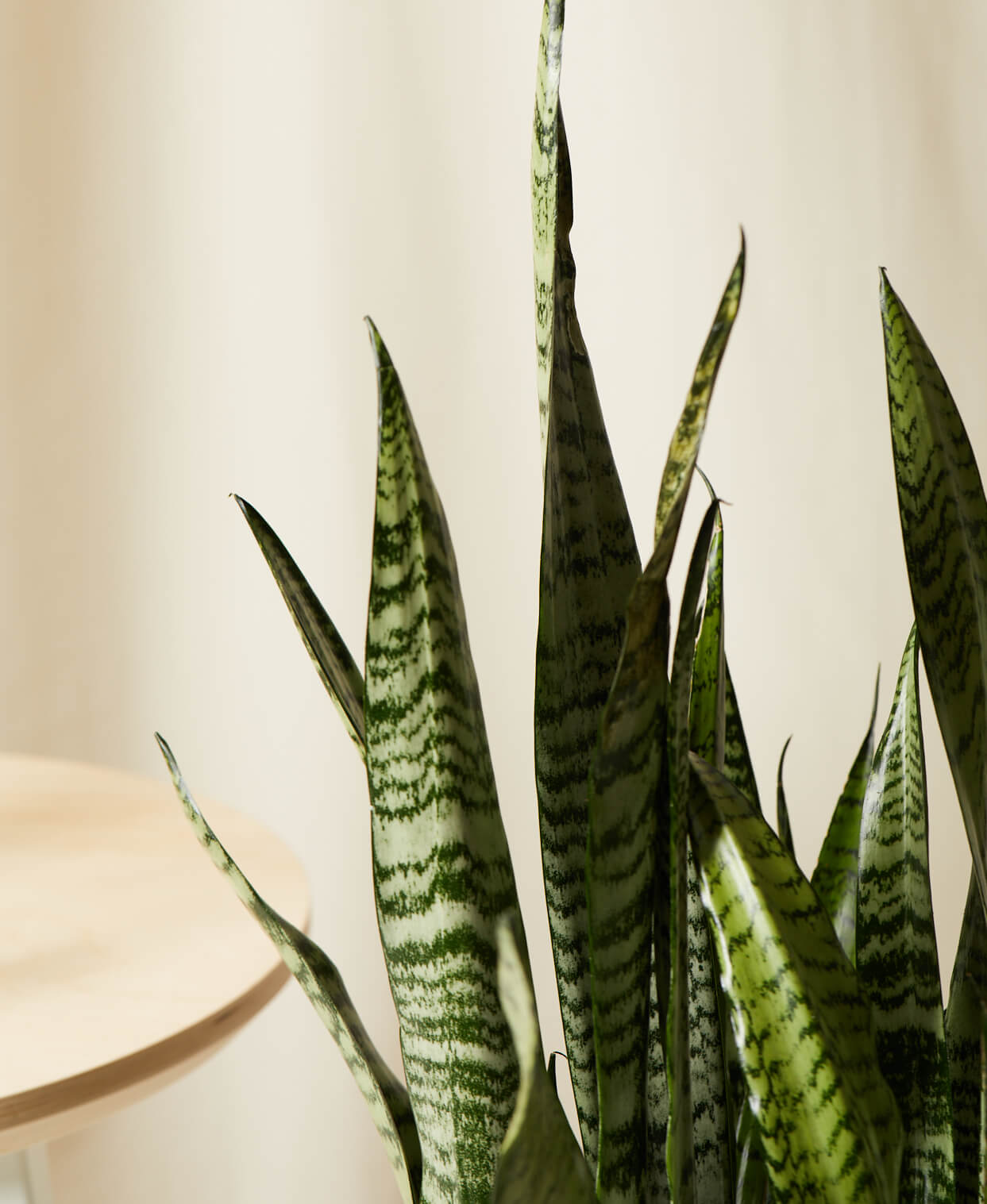 Buy Bloomscape Potted Sansevieria