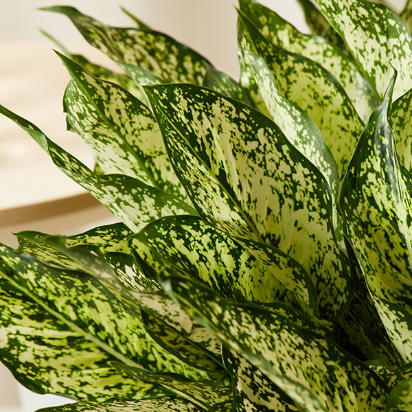 Aglaonema Care