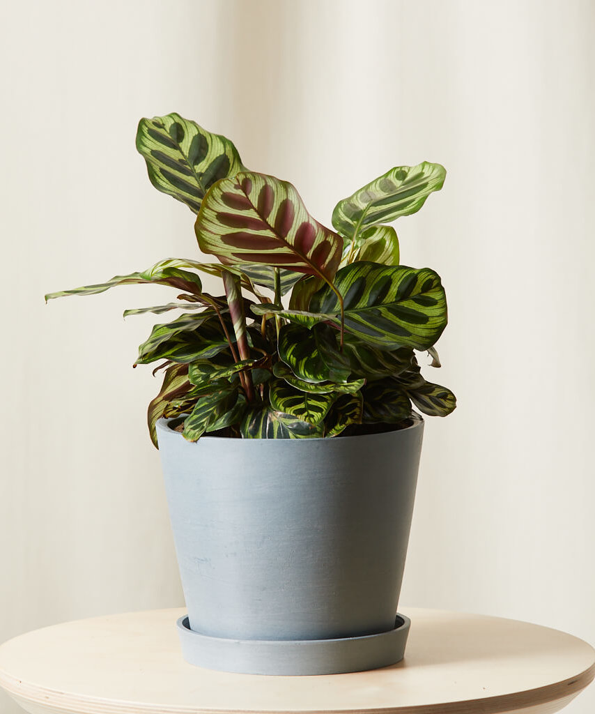 Buy Bloomscape Potted Calathea Peacock