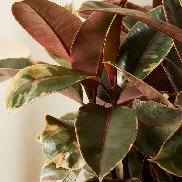 Ficus Plant Care Guide Bloomscape