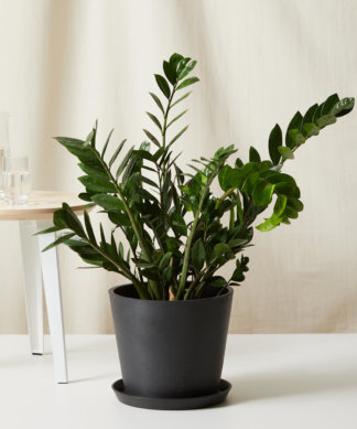 Buy Bloomscape Potted ZZ Plant