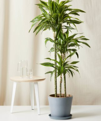 Bloomscape Extra-Large Dracaena Gold Star potted in Slate Ecopot.