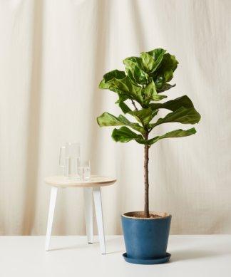 Bloomscape Extra-Large Large Fiddle Leaf Fig potted in Indigo Ecopot.