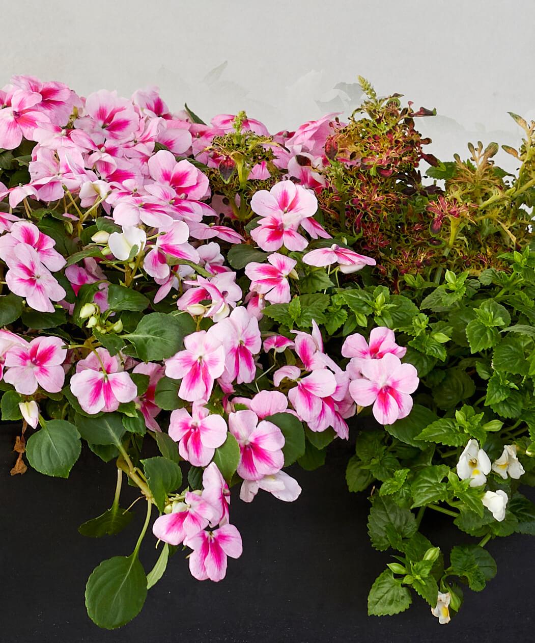 Pink Impatiens, White Torenia, and Coleus Combination Kit