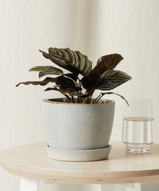 Buy Bloomscape Potted Calathea Pinstripe