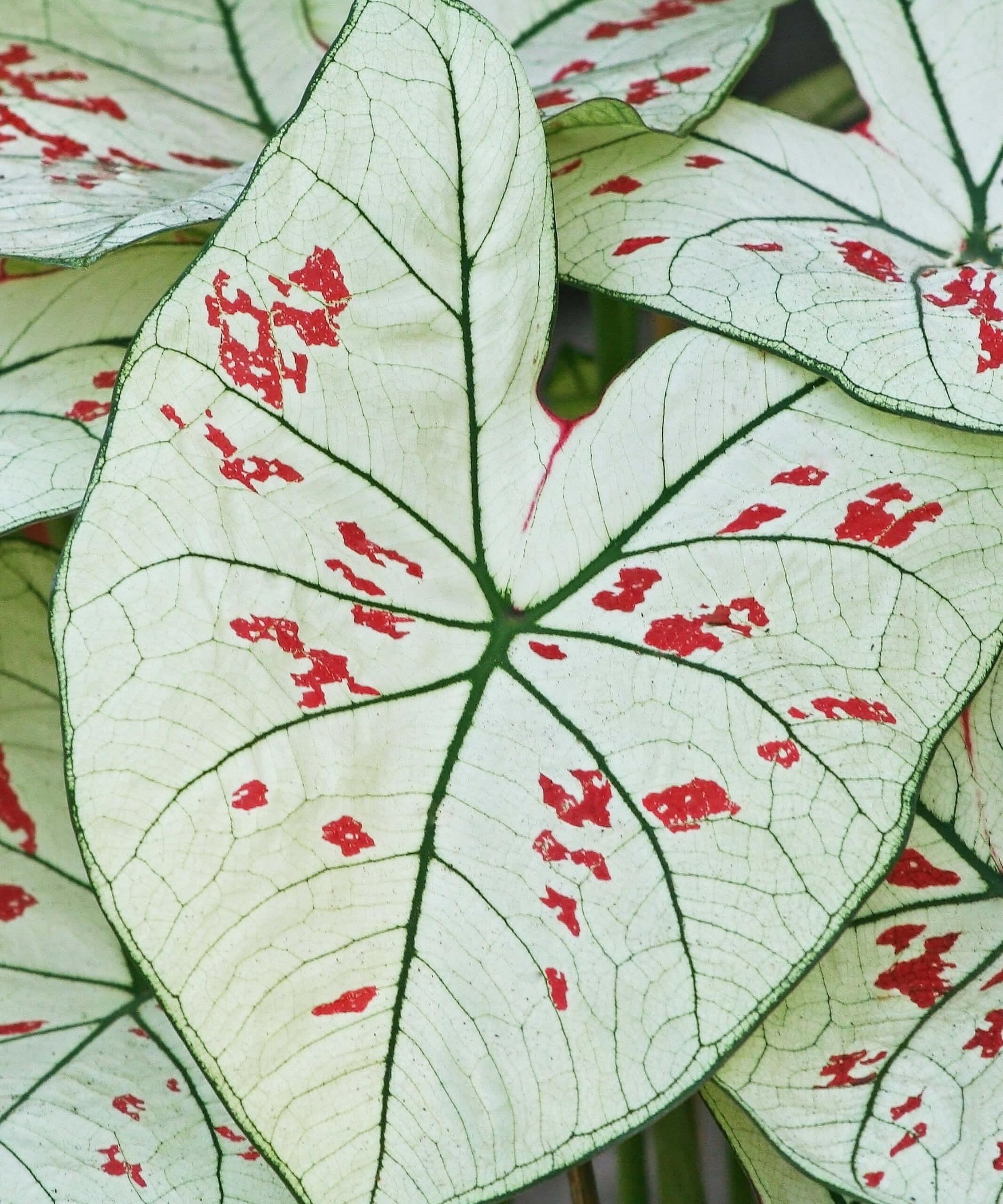 Detail of Caladium plant